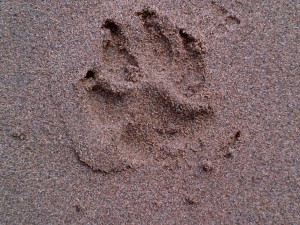 Buddy's paw pring in the sand