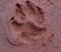 Sand Paw Print